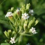 Stevia: pro e contro di una pianta speciale